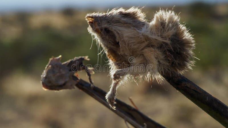 Η χρήση Butcherbird οι σπονδυλικές στήλες ως χασάπη χρησιμοποιεί το γάντζο του για να κρατήσει το θήραμά της δεδομένου ότι το δια στοκ εικόνες