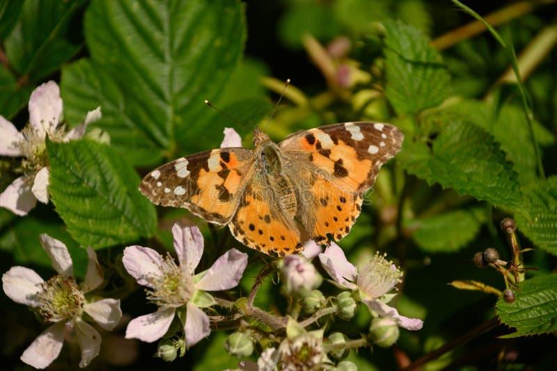 Η χρωματισμένη γυναικεία πεταλούδα μεταναστεύει 9.000 μίλια στοκ φωτογραφία με δικαίωμα ελεύθερης χρήσης