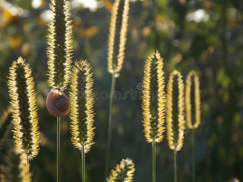 Η χλόη στον ήλιο Σαλιγκάρι στη χλόη στοκ φωτογραφίες