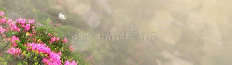 Η όμορφη άποψη της ρόδινης rhododendron rue ανθίζει την άνθιση στη βουνοπλαγιά με τους ομιχλώδεις λόφους με την πράσινη χλόη Ομορ στοκ εικόνα