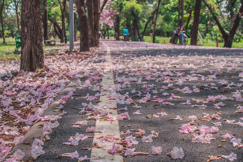 Η όμορφη άποψη τοπίων σε εποχιακό φθινοπώρου των ρόδινων λουλουδιών αφορημένος τη διάβαση πεζών που περιβάλλεται με τα πράσινα δέ στοκ φωτογραφία με δικαίωμα ελεύθερης χρήσης