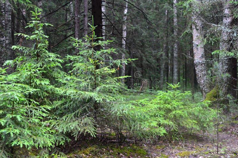 Η όμορφη άποψη του θερινού καθαρού δάσους διατήρησε τις άγριες θέσεις στοκ φωτογραφία