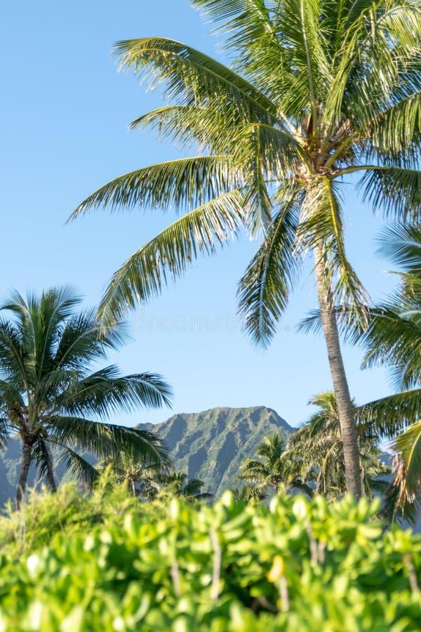Η όμορφη άποψη των εγκαταστάσεων, οι φοίνικες και ένα βουνό κυμαίνονται στην παραλία Waimanalo, ανατολικό Oahu, Χαβάη, ΗΠΑ Οι μακ στοκ φωτογραφίες