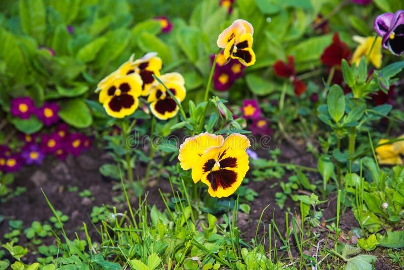 Η όμορφη ανάπτυξη Pansies ή Violas στον κήπο Διακόσμηση κήπων στοκ φωτογραφία με δικαίωμα ελεύθερης χρήσης