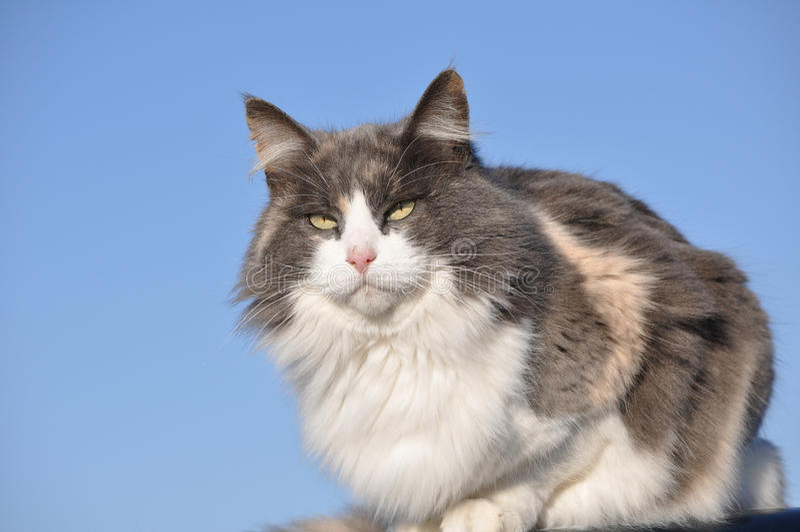 η όμορφη γάτα βαμβακερού υφάσματος αραίωσε μαλλιαρό μακρύ στοκ φωτογραφία