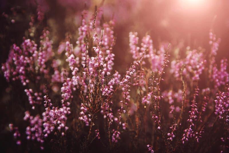 Η όμορφη ερείκη ανθίζει το υπόβαθρο Κλείστε επάνω των λουλουδιών ερείκης στοκ εικόνες