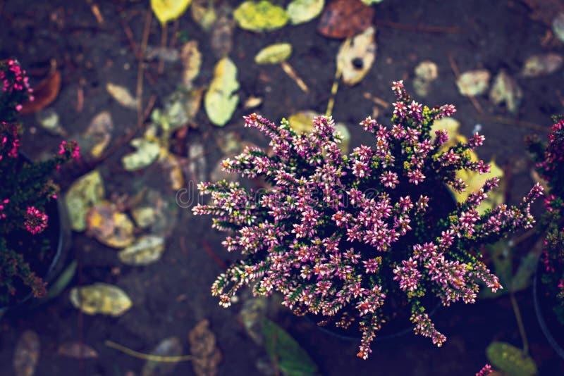 Η όμορφη ερείκη ανθίζει το υπόβαθρο Κλείστε επάνω των λουλουδιών ερείκης στοκ φωτογραφία με δικαίωμα ελεύθερης χρήσης