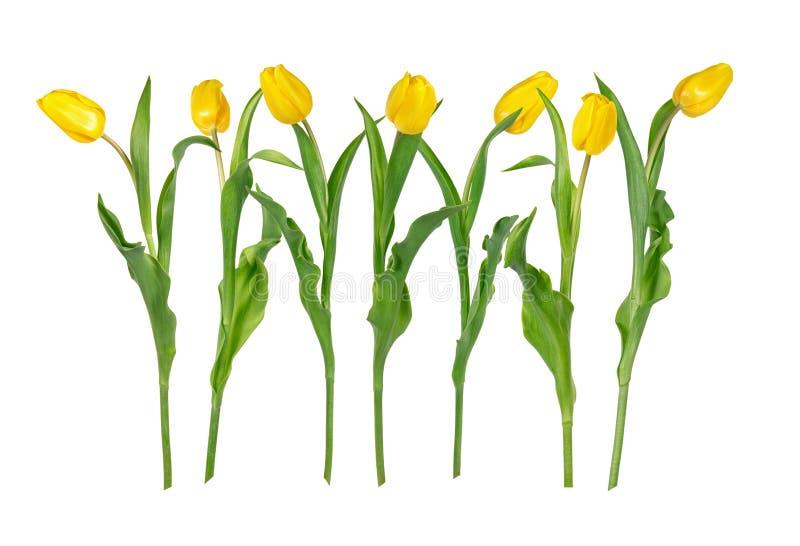 Η όμορφη ζωηρή κίτρινη τουλίπα επτά ανθίζει στους μακροχρόνιους μίσχους με τα πράσινα φύλλα που απομονώνονται στο άσπρο υπόβαθρο στοκ εικόνες