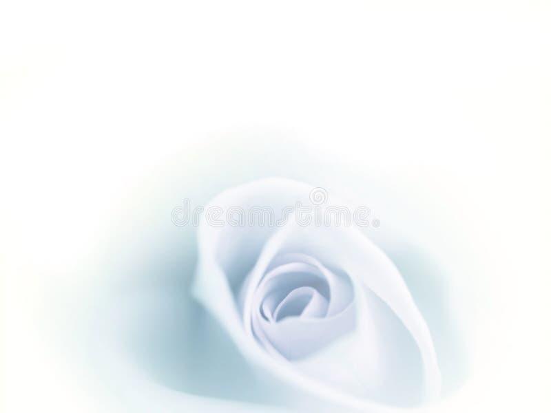Η όμορφη θαμπάδα μπλε αυξήθηκε εξασθενισμένος στο άσπρο υπόβαθρο στοκ φωτογραφία με δικαίωμα ελεύθερης χρήσης