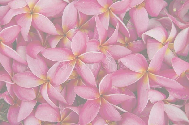 Η όμορφη κόκκινη σύσταση λουλουδιών plumeria εξασθενίζει έξω στοκ εικόνες