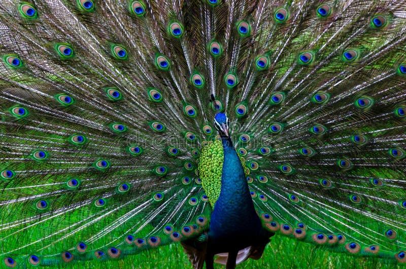 Η όμορφη ουρά Peacock peacock παρουσιάζει στο σχέδιο πράσινο σημείο στοκ εικόνες