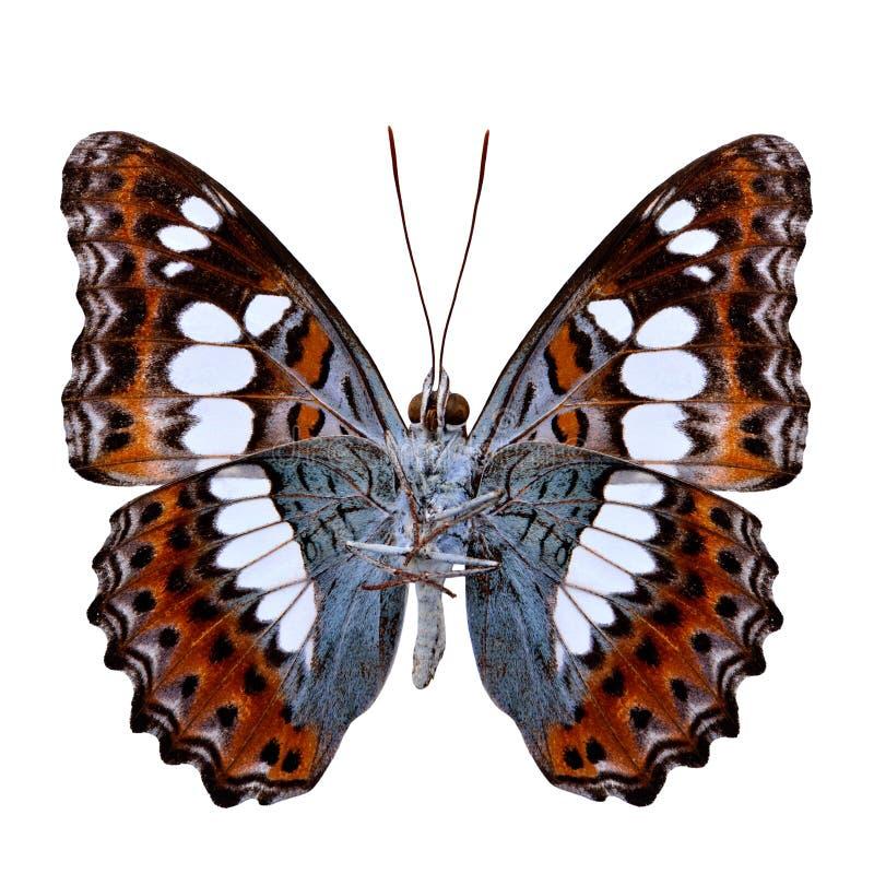 Η όμορφη πεταλούδα, κοινός διοικητής (procris moduza) κάτω κερδίζει στοκ φωτογραφία με δικαίωμα ελεύθερης χρήσης