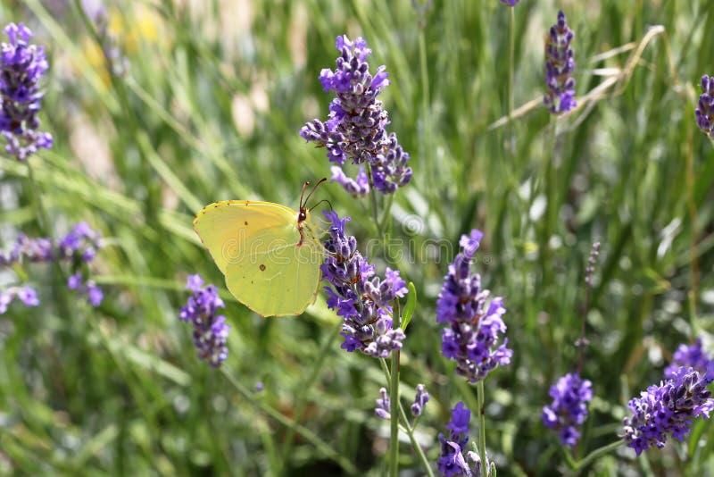 Η όμορφη πεταλούδα πίνει το νέκταρ από ένα λουλούδι στοκ φωτογραφία
