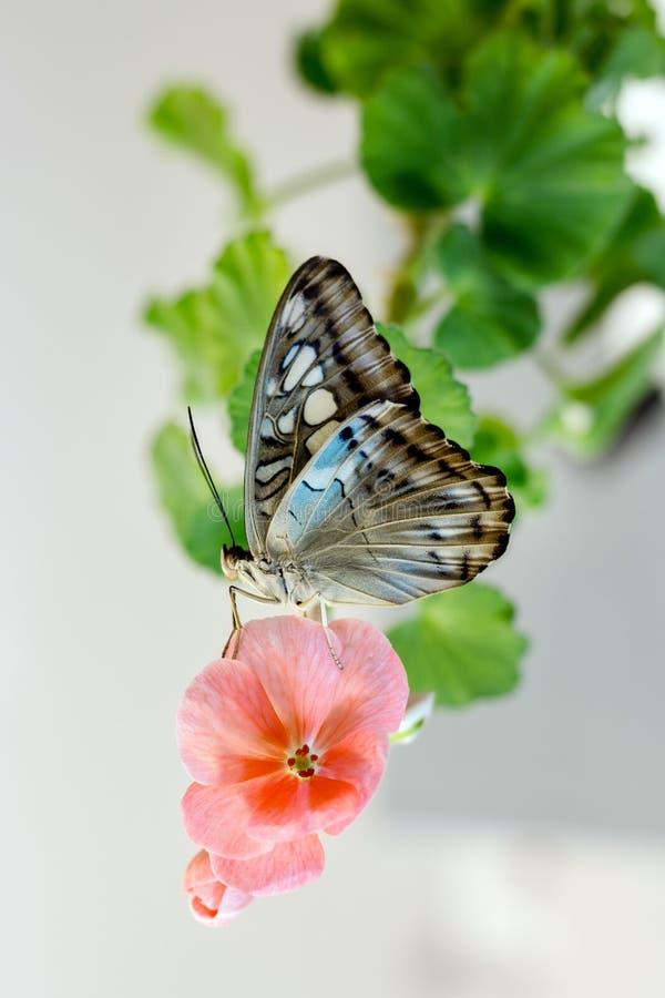 Η όμορφη πεταλούδα στο πράσινο λουλούδι βγάζει φύλλα απομονωμένος, κλείνει επάνω στοκ φωτογραφία