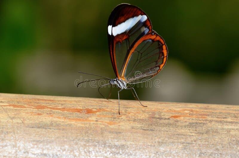 Η όμορφη πεταλούδα με βλέπει μέσω των φτερών στοκ φωτογραφίες με δικαίωμα ελεύθερης χρήσης