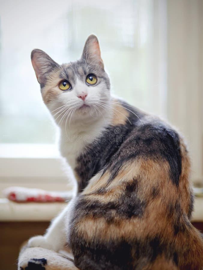 Η όμορφη πολύχρωμη γάτα, κάθεται να έχε γυρίσει πίσω στοκ φωτογραφία