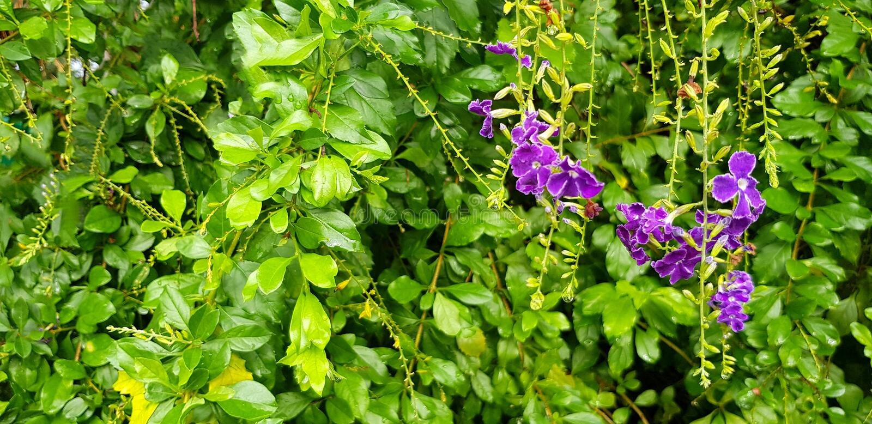 Η όμορφη πορφύρα, η βιολέτα ή η ορχιδέα ανθίζουν στο floral κήπο με το θολωμένο πράσινο υπόβαθρο φύλλων στοκ φωτογραφία