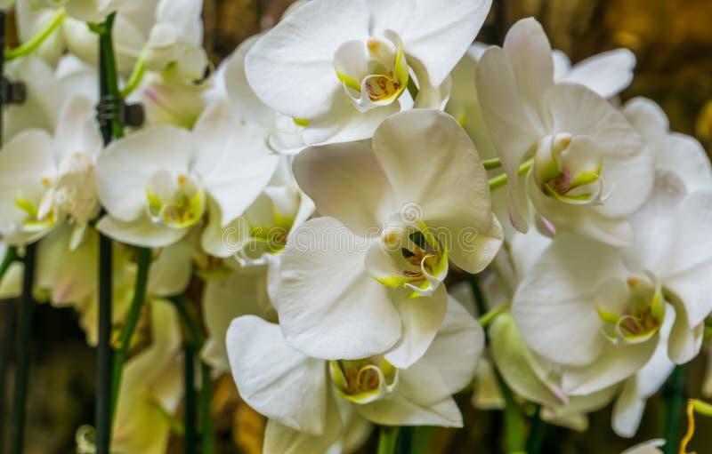 Η όμορφη συστάδα της άσπρης ορχιδέας σκώρων ανθίζει, ανθίζοντας το φυτό από την Ασία, υπόβαθρο φύσης στοκ φωτογραφίες με δικαίωμα ελεύθερης χρήσης
