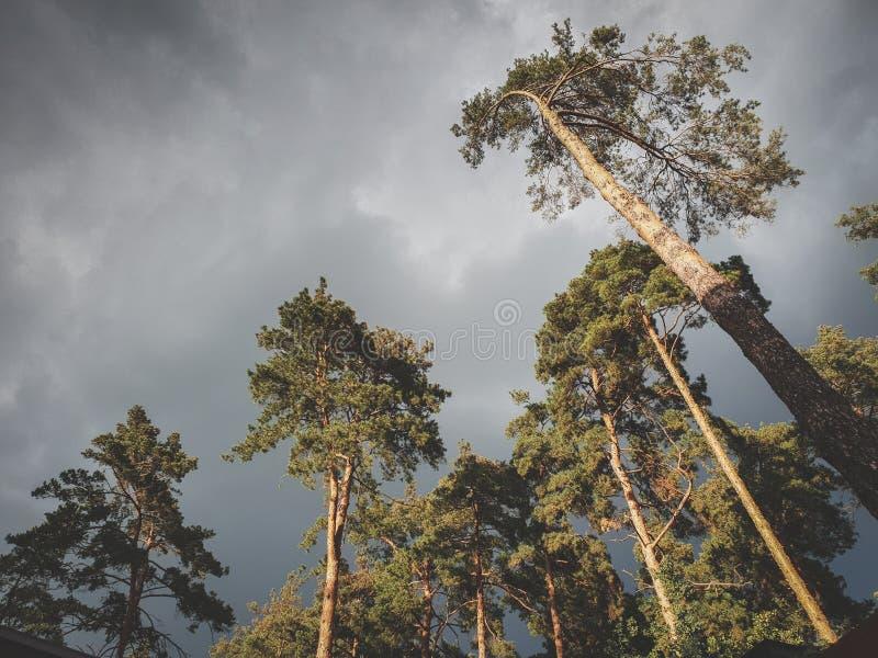 Η όμορφη τονισμένη εικόνα του σκούρο γκρι ουρανού που καλύπτεται με τη βροχή καλύπτει πέρα από τα υψηλά δέντρα πεύκων στο δασικό  στοκ εικόνα με δικαίωμα ελεύθερης χρήσης