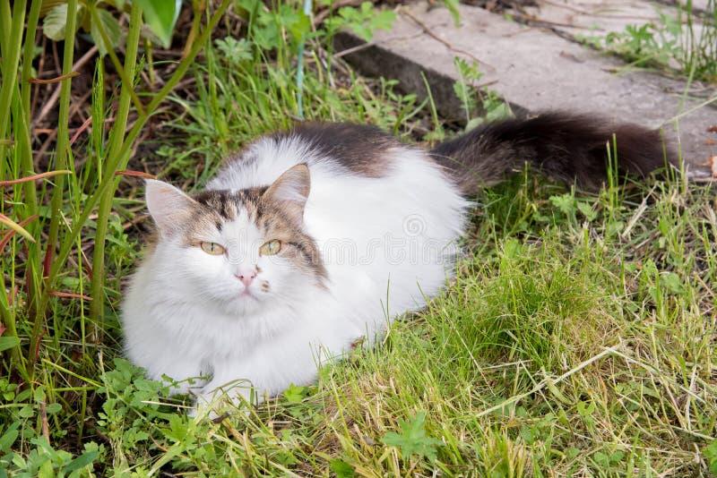 Η όμορφη χνουδωτή γάτα στηρίζεται και βρίσκεται στην πράσινη χλόη το καλοκαίρι στοκ φωτογραφίες