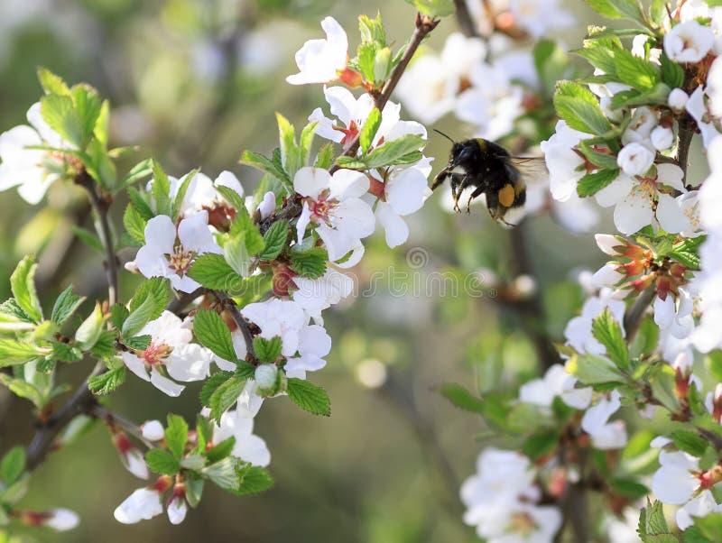 Η Chubby μέλισσα Bumble συλλέγει το νέκταρ στον πολύβλαστο κήπο άνοιξη στοκ εικόνες