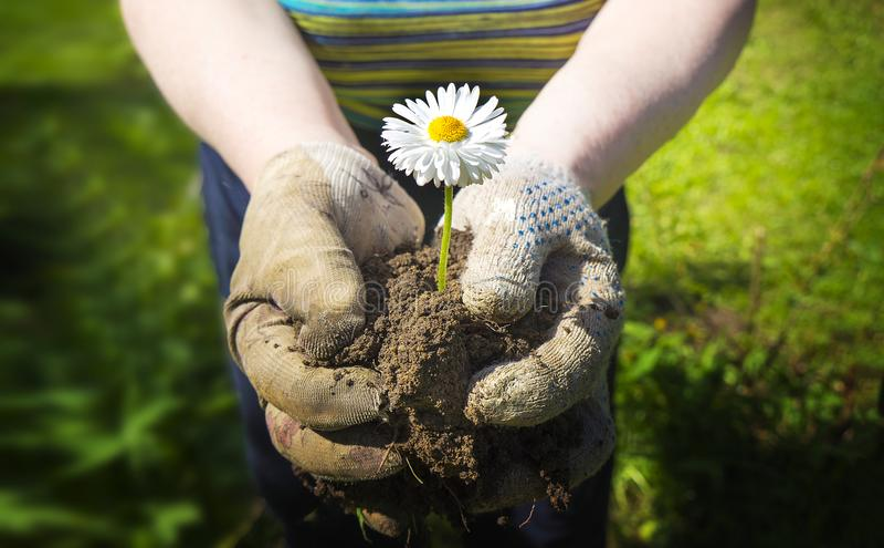 Η Farmer κρατά τη γη με ένα λουλούδι chamomile, το σύμβολο έννοιας της ειρήνης, ένας πόλεμος στάσεων, μια καλή συγκομιδή στοκ εικόνα