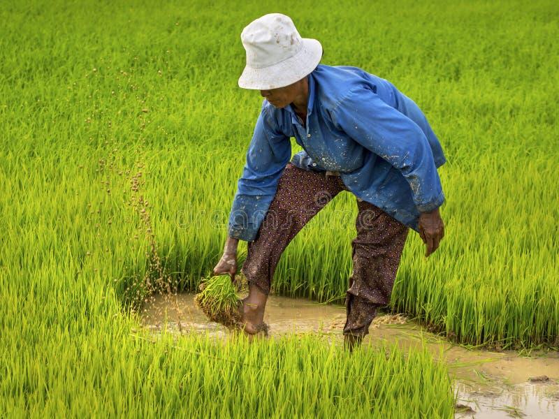 Η Farmer που λειτουργεί στον τομέα ρυζιού, Siem συγκεντρώνει, Καμπότζη στοκ εικόνα