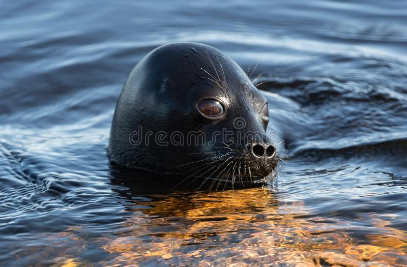 Η Ladoga ringed σφραγίδα που κολυμπά στο νερό Μπλε υπόβαθρο νερού στοκ εικόνα με δικαίωμα ελεύθερης χρήσης