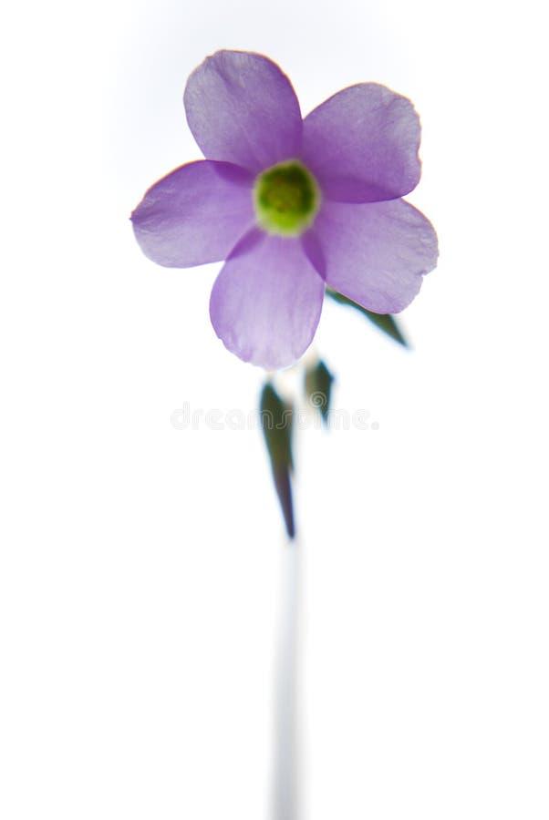Η Lavender άνθιση εγκαταστάσεων τριφυλλιού Oxalis με το καθαρό άσπρο υπόβαθρο στοκ φωτογραφία