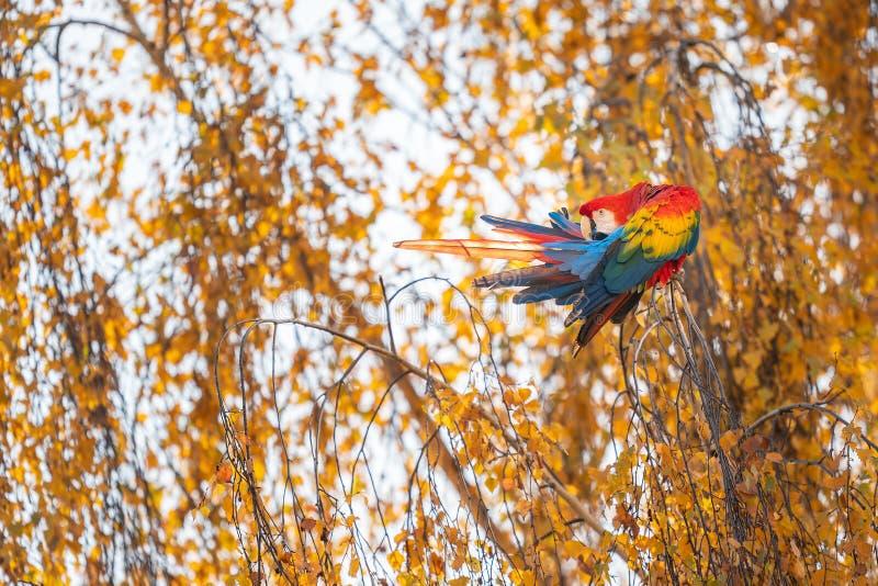Η Scarlet macaw κάθεται στο δέντρο με κίτρινα φύλλα στοκ φωτογραφίες με δικαίωμα ελεύθερης χρήσης