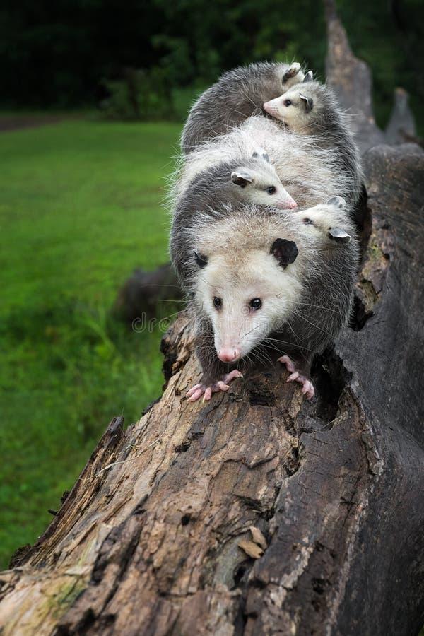 Η Virginia Opossum Didelphis viriniana Περπατάει Με Τις Χαρές Της Το Καλοκαίρι της Μέρας στοκ φωτογραφία