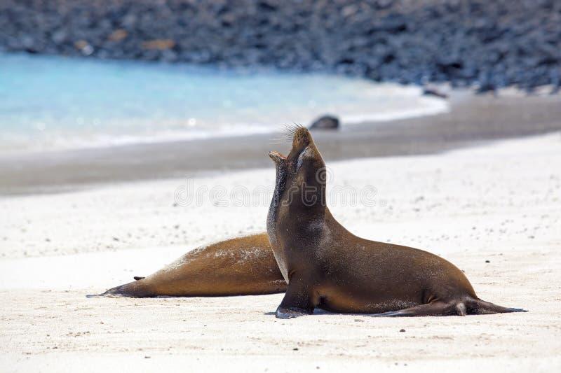 θάλασσα λιονταριών αποικιών στοκ φωτογραφία με δικαίωμα ελεύθερης χρήσης