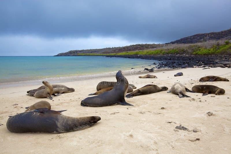 θάλασσα λιονταριών αποι&ka στοκ φωτογραφίες με δικαίωμα ελεύθερης χρήσης