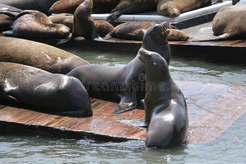 θάλασσα λιονταριών SAN Francisco στοκ εικόνες