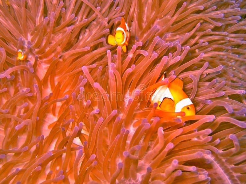 θάλασσα ψαριών κλόουν anemone στοκ εικόνες