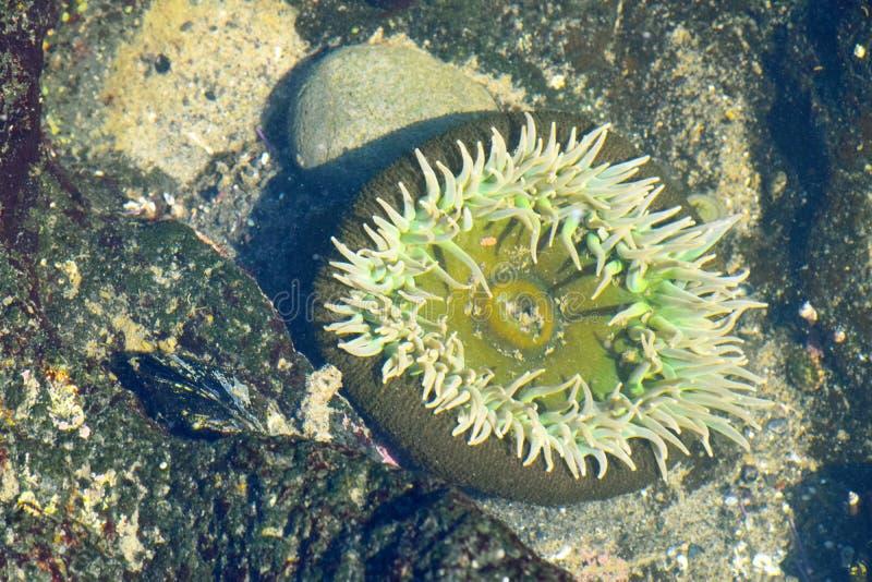Θάλασσα Anemone Mandala 02 στοκ εικόνα με δικαίωμα ελεύθερης χρήσης