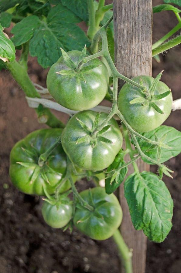 Θάμνοι ντοματών με τα φρούτα Ανθίζοντας σπορόφυτα στοκ εικόνες