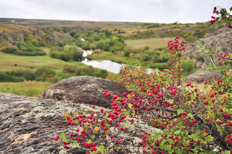 Θάμνος κραταίγου με τα μούρα που αυξάνονται στους βράχους σε έναν λόφο στοκ φωτογραφία