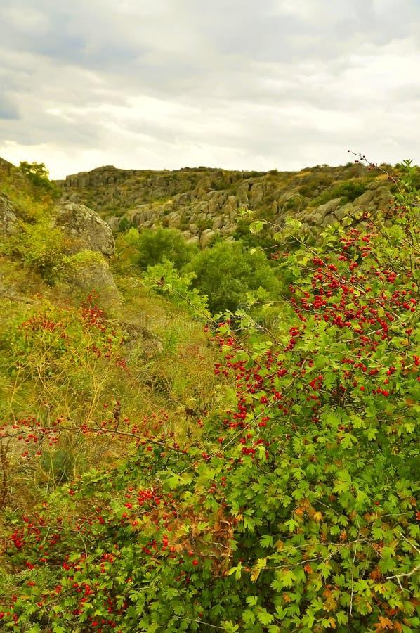 Θάμνος κραταίγου με τα μούρα που αυξάνονται στους βράχους σε έναν λόφο στοκ φωτογραφίες