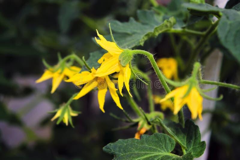 Θάμνος ντοματών με τα κίτρινα λουλούδια Ανθίσεις ντοματών με τα κίτρινα λουλούδια Άνθος ντοματών Φρέσκες θερινές περίοδο ακατέργα στοκ φωτογραφία με δικαίωμα ελεύθερης χρήσης