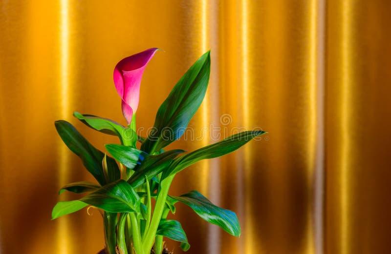 Θάμνος της Calla στο χρυσό υπόβαθρο στοκ εικόνες