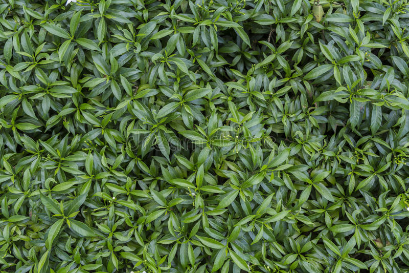 Θάμνος της Jasmine υφάσματος κρεπ Gerdenia στοκ φωτογραφία με δικαίωμα ελεύθερης χρήσης