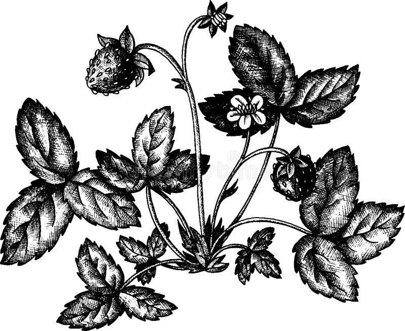 Θάμνος φραουλών με τα μούρα ελεύθερη απεικόνιση δικαιώματος