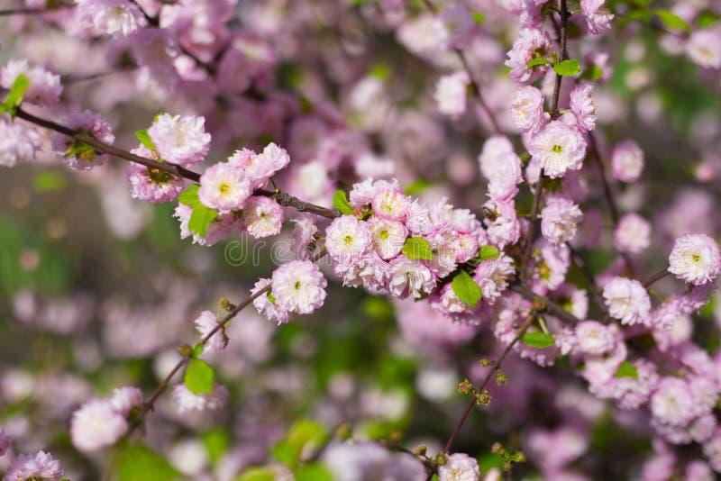 Θάμνος triloba Prunus στο άνθος με το καταπληκτική μυρωδιά ` s στοκ φωτογραφίες με δικαίωμα ελεύθερης χρήσης