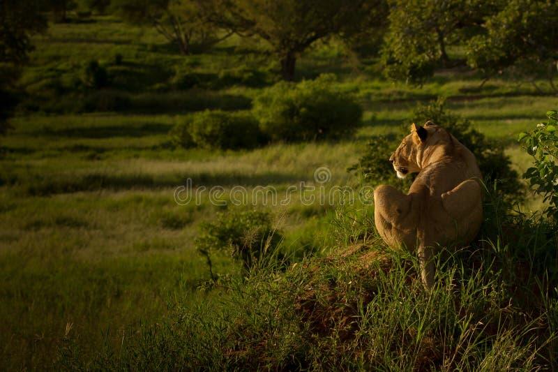 Θήραμα καταδίωξης λιονταρινών στο σούρουπο στοκ εικόνες με δικαίωμα ελεύθερης χρήσης