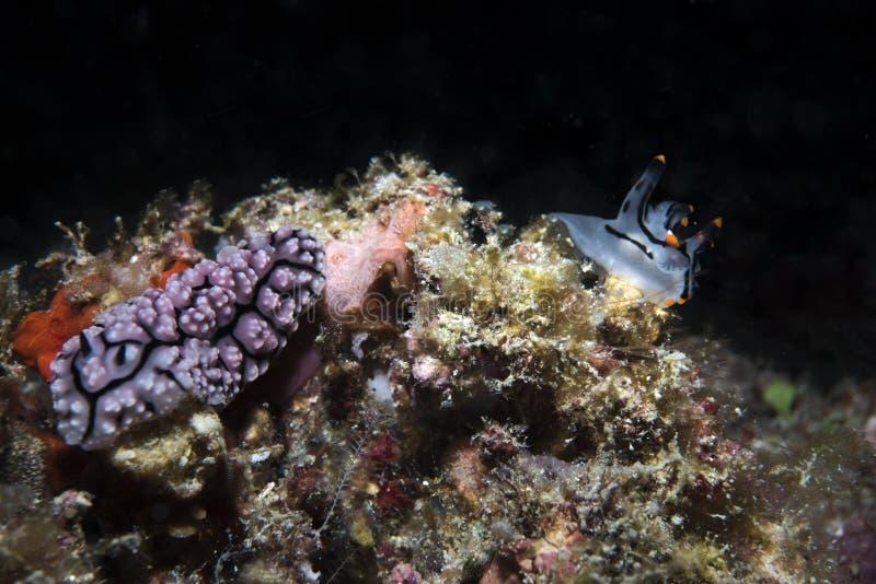 Θαλάσσια ζωή γυμνοσαλιάγκων δύο θάλασσας στο σκοτεινό υπόβαθρο στοκ φωτογραφίες