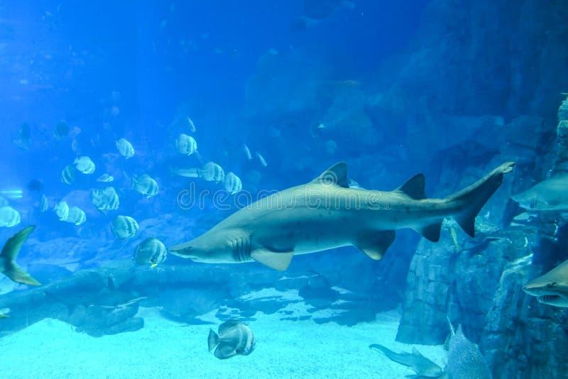 Θαλάσσια ζωή στο ενυδρείο καρχαριών φαλαινών στο ωκεάνιο βασίλειο Chimelong στοκ φωτογραφίες με δικαίωμα ελεύθερης χρήσης