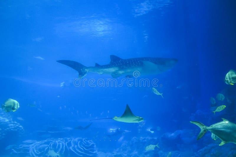 Θαλάσσια ζωή στο ενυδρείο καρχαριών φαλαινών στο ωκεάνιο βασίλειο Chimelong στοκ εικόνες με δικαίωμα ελεύθερης χρήσης
