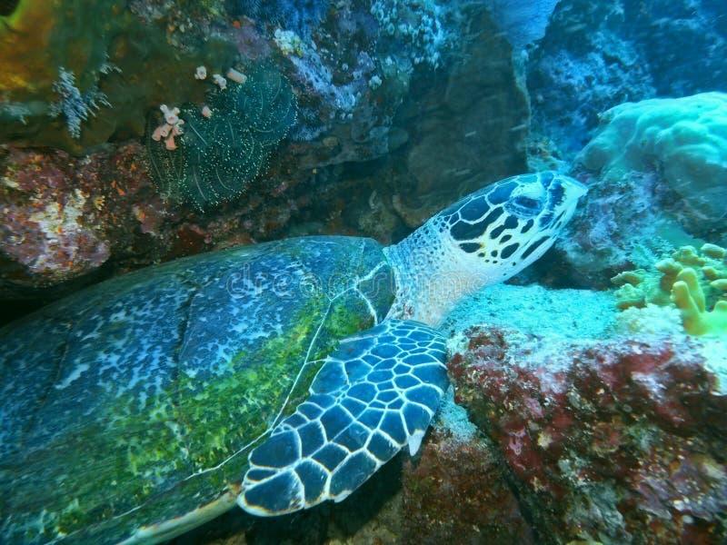 Θαλάσσια χελώνα στοκ εικόνα με δικαίωμα ελεύθερης χρήσης