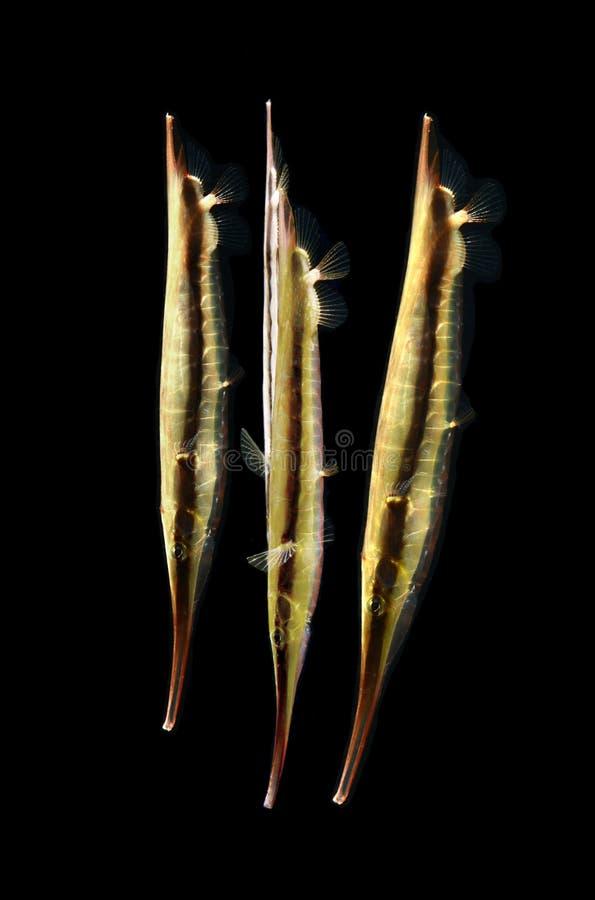 Θαλάσσια ψάρια, azorfish απομονωμένος στο Μαύρο στοκ εικόνες
